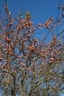 Fränkischer Zibartenbrand (Wildmirabellen)